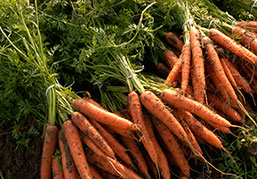 Picture bunches of carrots