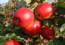 Picture of apple tree